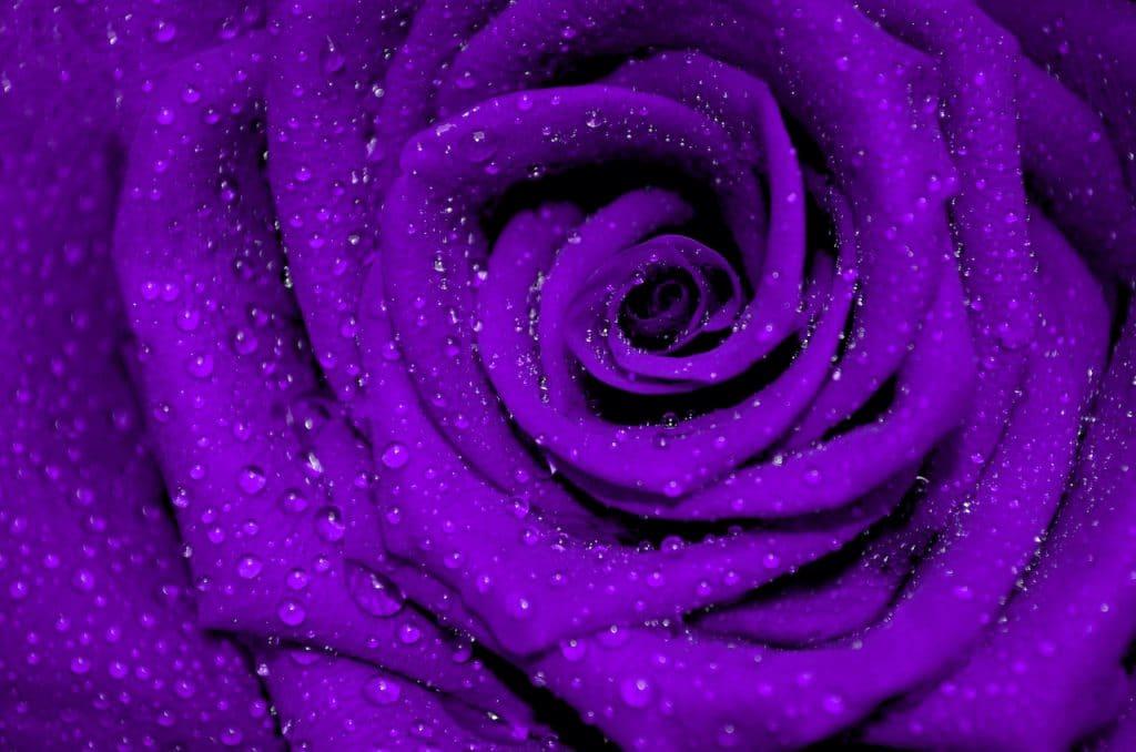 Deep Purple Rose w mist